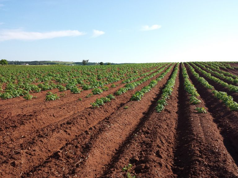 Jak wykorzystać kukurydzę?