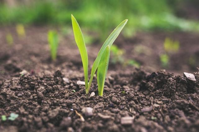 Wiosenne zwalczanie chwastów w zbożach ozimych