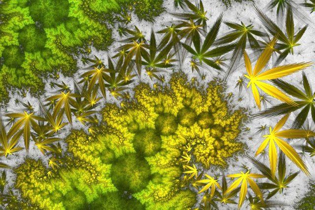 Skuteczny nawóz na kwitnienie marihuany